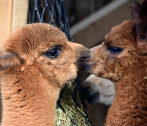 2018 Explore More – Alpaca Farm Tour