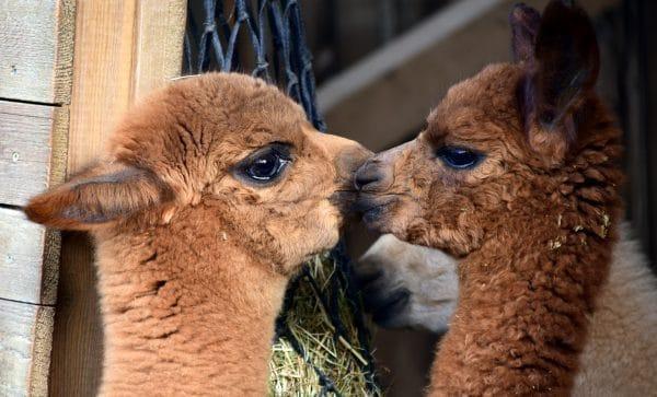 2018 Explore More – Alpaca Farm Tour