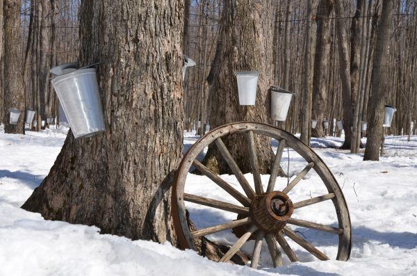 Explore More Maple Sugaring